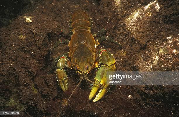 Glenelg spiny crayfish Euastacus bispinosus a large specimen Ewens Ponds near Mount Gambier South Australia