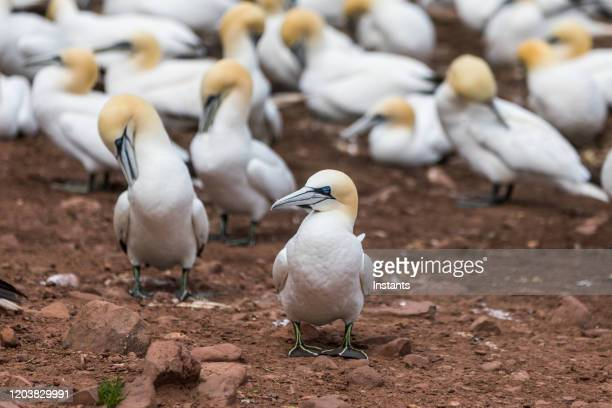 a glimpse at a large group of northern gannets on bonaventure island. - gannet stock pictures, royalty-free photos & images