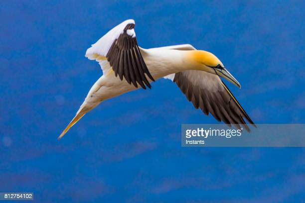 a glimpse at a northern gannets while in flight around bonaventure island. - gannet stock photos and pictures