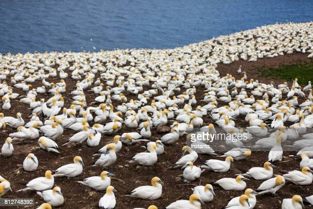 een glimp op van bonaventure eiland werelds grootste kolonie van noord bloemenverkoopster, waar meer dan 200 duizend vogels deze plek thuis 6 maanden van het jaar noemen. - northern gannet stockfoto's en -beelden