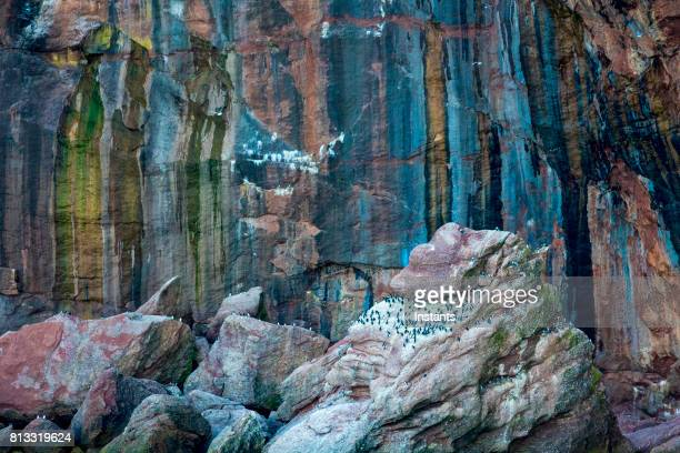 a glimpse at one of bonaventure island sea cliffs where the northern gannet and common murre, also called common guillemot, can be seen among other species. - gaspe peninsula stock pictures, royalty-free photos & images