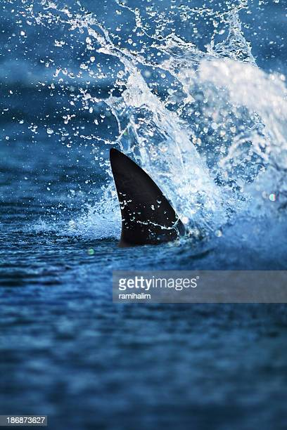 glimpse of big shark fin in splashing water - shark fin stock photos and pictures