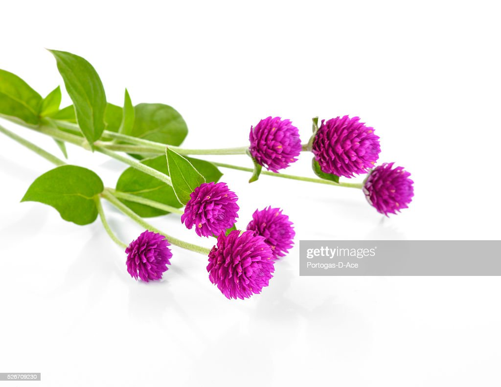 Globe Amaranth Beauty Flower In White Background Stock Photo Getty