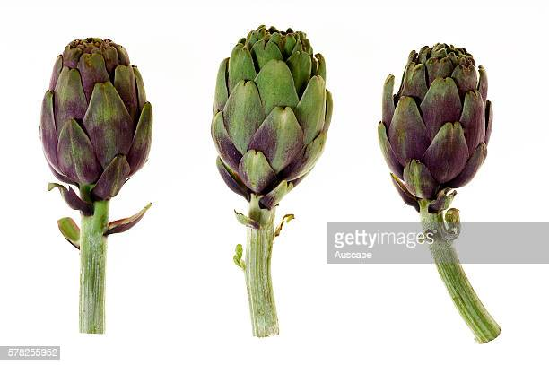 Globe artichokes Cynara scolymus studio photograph