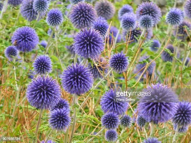 Globe thistle flowers, Echinops ritro