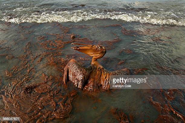 Globs of oil hang from the beek of heavily oiled pelican flounders on the beach at East Grand Terre Island in Barataria Bay, Louisiana. Oil continues...