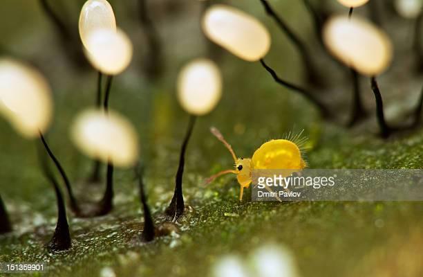 Globular springtail in forest of myxomycetes