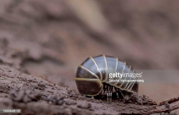 glomerida - potato bug stock pictures, royalty-free photos & images