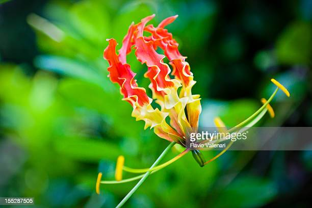 gloriosa lily - barbados stock pictures, royalty-free photos & images