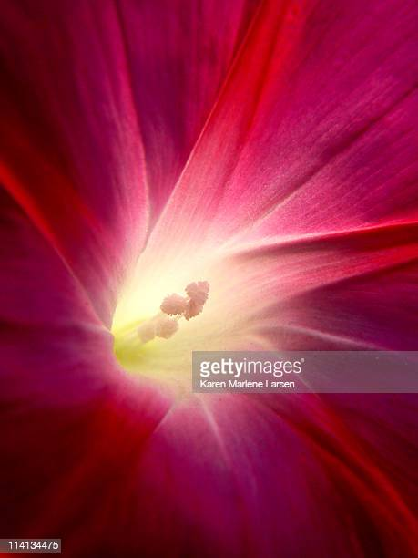 glorious morning glory - somerville massachusetts stock pictures, royalty-free photos & images
