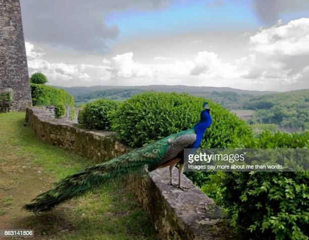 a glorious peacock enjoying the view of the dordogne's valley. - sarlat stock photos and pictures