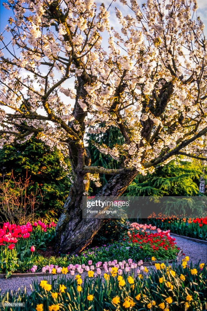 Glorious Spring Blooming, Stanley Park, Vancouver, British Columbia, Canada : Stock Photo