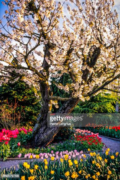 glorious spring blooming, stanley park, vancouver, british columbia, canada - stanley park stock photos and pictures
