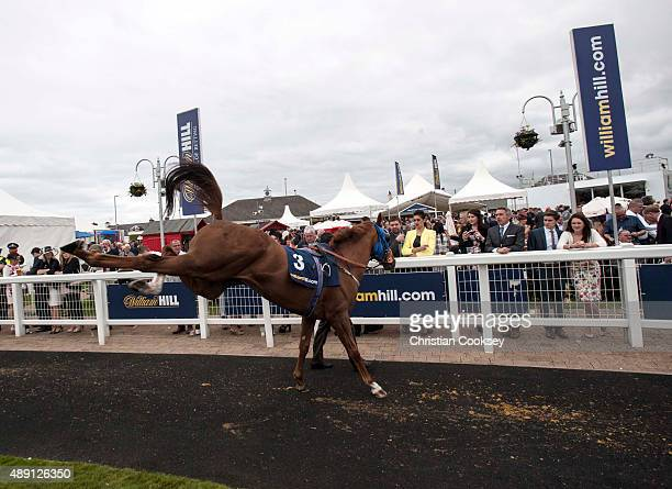 Glory Awaits bucks in the parade ring before the William Hill Ayr Gold Cup on September 19 2015 in Ayr Scotland