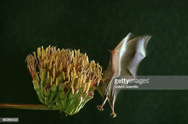 Glossophagine bat, Leptonycteris sanborni, pollinating Century Plant, Arizona