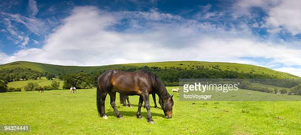 glossy horse in picturesque pasture - grazing stock pictures, royalty-free photos & images