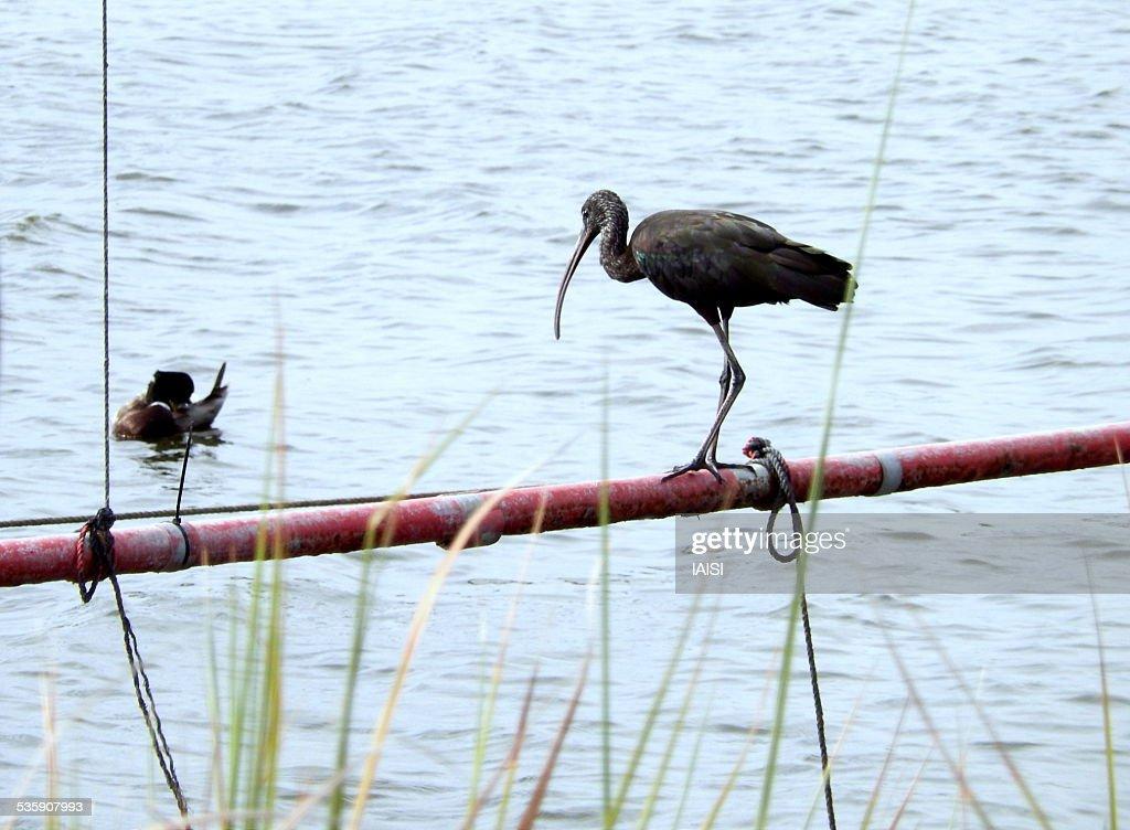Glossy ibis looking at mallard duck grooming : Foto de stock