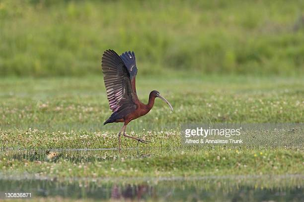 glossy ibis (plegadis falcinellus) - vista lateral stock pictures, royalty-free photos & images