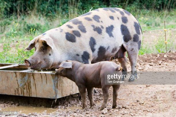Gloucester Old Spot pig and her piglet feeding, Gloucestershire, United Kingdom.