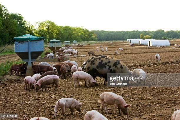Gloucester Old Spot pig and her piglets, Gloucestershire, United Kingdom.