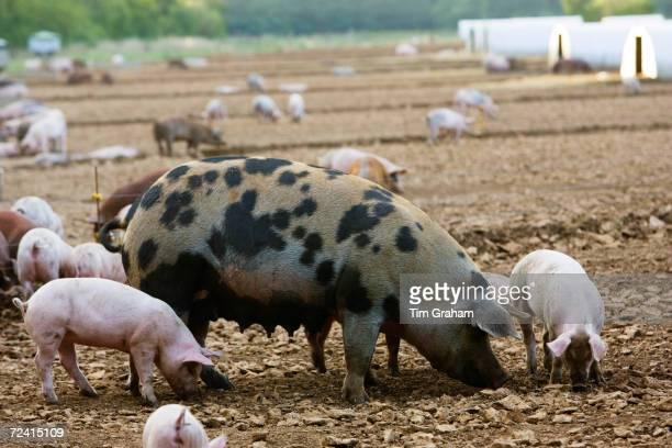 Gloucester Old Spot pig and her piglets Gloucestershire United Kingdom