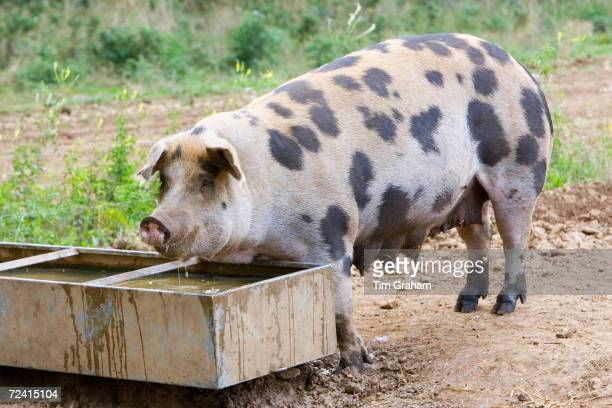 Gloucester Old Spot pig feeds from a trough , Gloucestershire, United Kingdom.