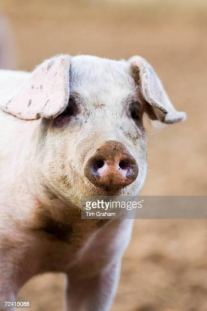 Gloucester Old Spot pig Gloucestershire United Kingdom