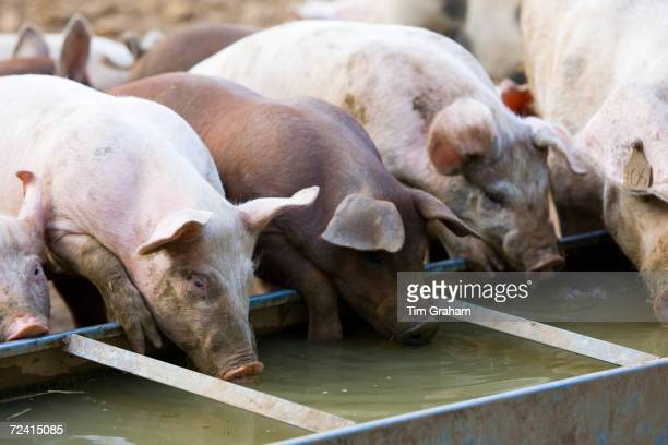 Gloucester Old Spot pigs drink from a trough, Gloucestershire, United Kingdom.