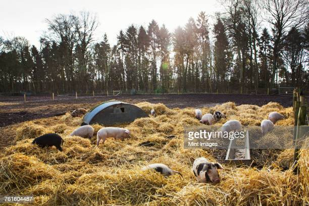 gloucester old spot pigs in an open field pen with fresh straw and metal pig arks shelter. - organic farm stock photos and pictures