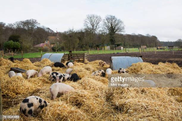 Gloucester Old Spot pigs in an open outdoors pen with fresh straw and metal pig arks, shelters.