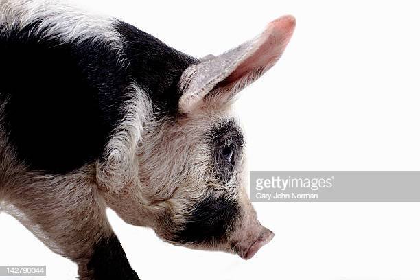 gloucestershire old spot pig - one animal stock pictures, royalty-free photos & images