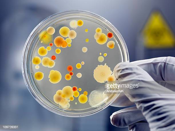 gloved hand holding petri dish with bacteria culture - cultures stock pictures, royalty-free photos & images