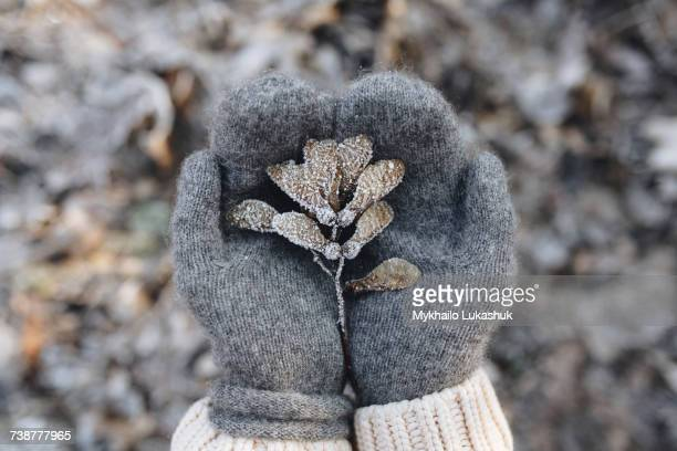 gloved hands cupping maple seeds covered with frost - mitten stock pictures, royalty-free photos & images