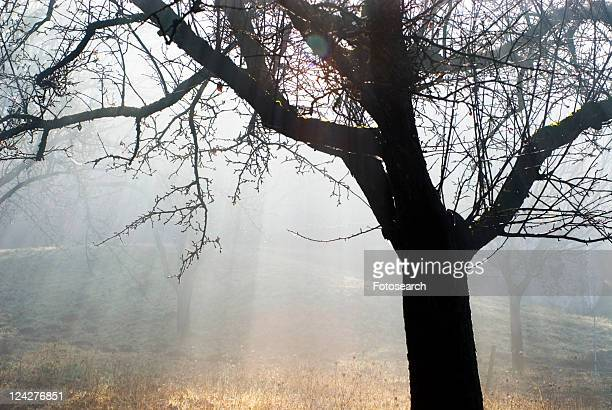 glow, austria, fruit-tree, calf, burgenland, apple tree