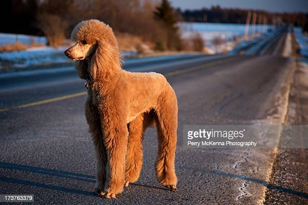 glowing dog - standard poodle stock photos and pictures