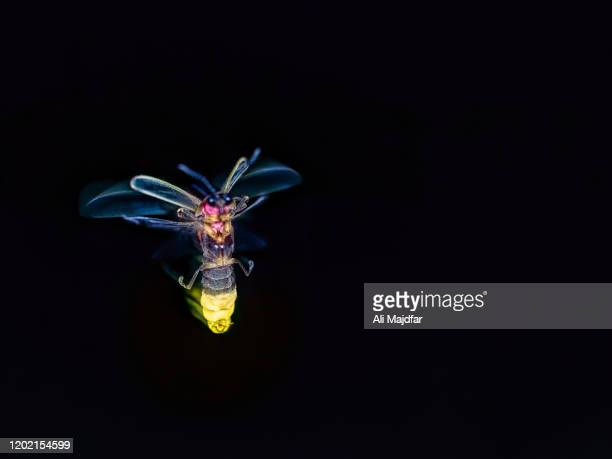glowing firefly - glowworm stock pictures, royalty-free photos & images
