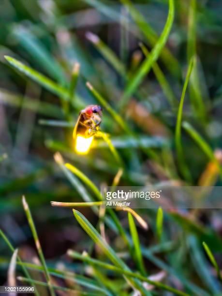 glowing firefly - グローワーム ストックフォトと画像