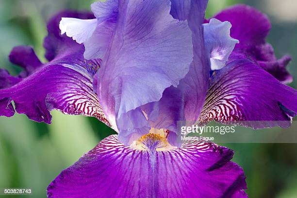 glowing iris - melissa fague stock pictures, royalty-free photos & images