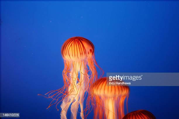 Glowing jellyfish under water