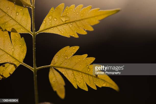 glowing leaves with rain drops in autumn - dew stock pictures, royalty-free photos & images