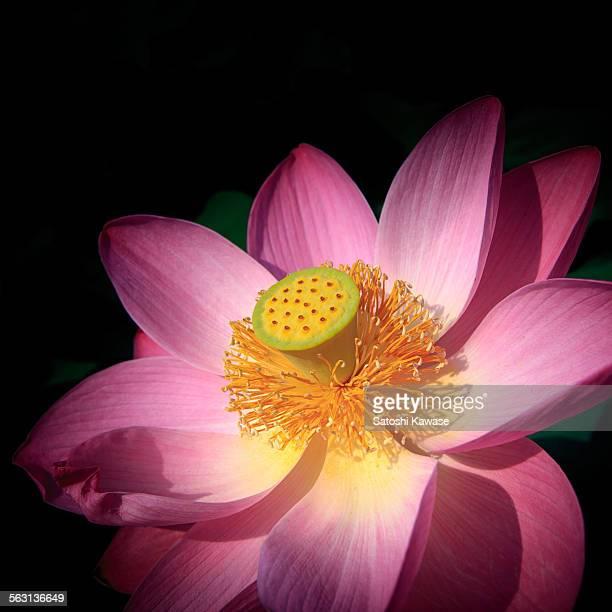 glowing lotus flower in black