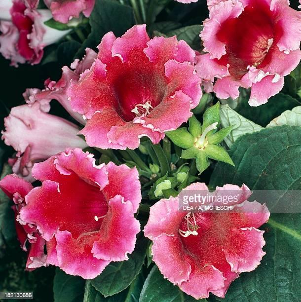 Gloxinia Gesneriaceae