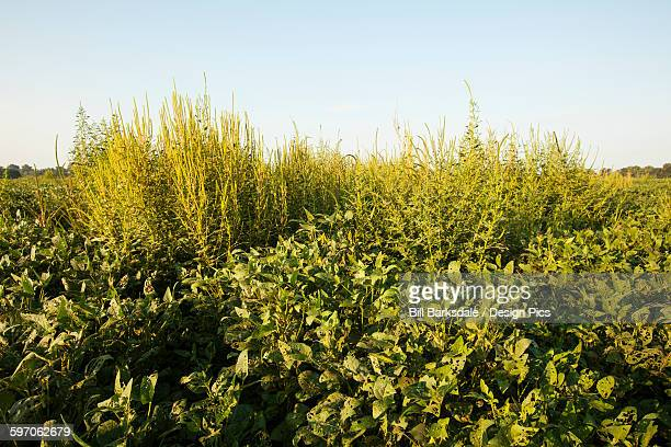Glysophate-resistant Palmer pigweed growing uncontrolled in Roundup Ready soy beans