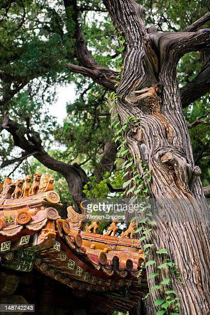 gnarled old tree near roofs in forbidden city. - merten snijders stock pictures, royalty-free photos & images