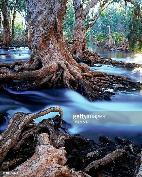 gnarled roots of melalueca trees in flooded stream, great sandy desert, wa - great sandy desert fotografías e imágenes de stock