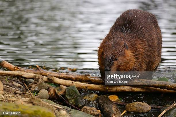 gnawing north american beaver - beaver stock pictures, royalty-free photos & images
