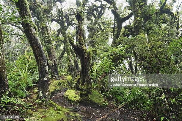 Gnome Forest, Mount Taranaki National Park (Mount Egmont National Park), Taranaki, North Island, New Zealand, Pacific