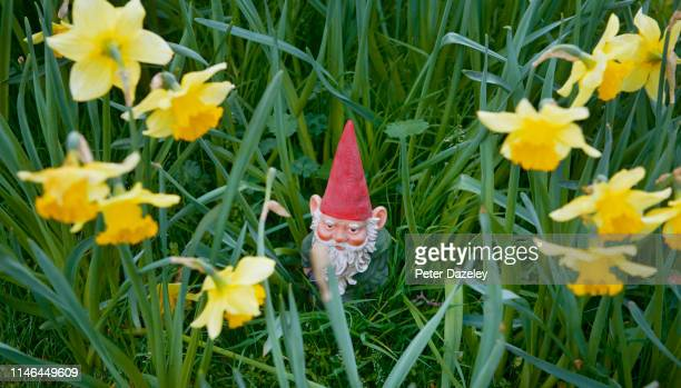 gnome peering out of daffodils - garden gnome stock pictures, royalty-free photos & images