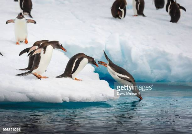 go time - penguin stock pictures, royalty-free photos & images