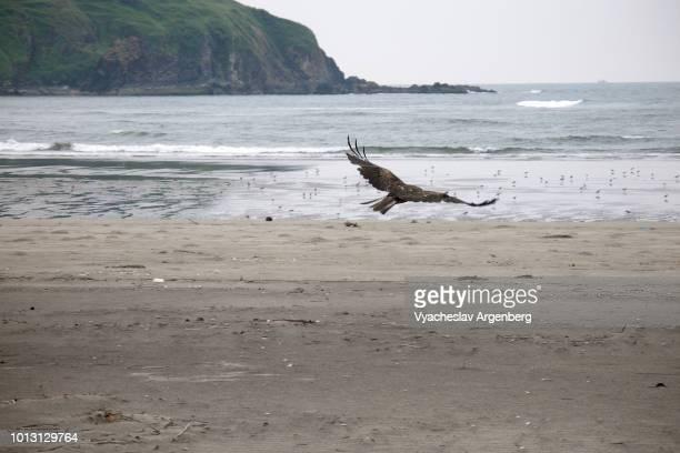goa eagle, morjim beach, india - argenberg stock-fotos und bilder